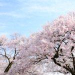 新宿御苑の桜の種類と見頃2019!種類ごとの見頃を紹介!