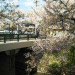 岩倉桜祭り2019時間、期間、ライトアップ情報を紹介!