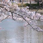 岩倉桜祭り2019屋台、駐車場、アクセス情報を紹介!
