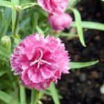 カーネーションの花言葉2019緑・青・ピンクなど色別の一覧を紹介!